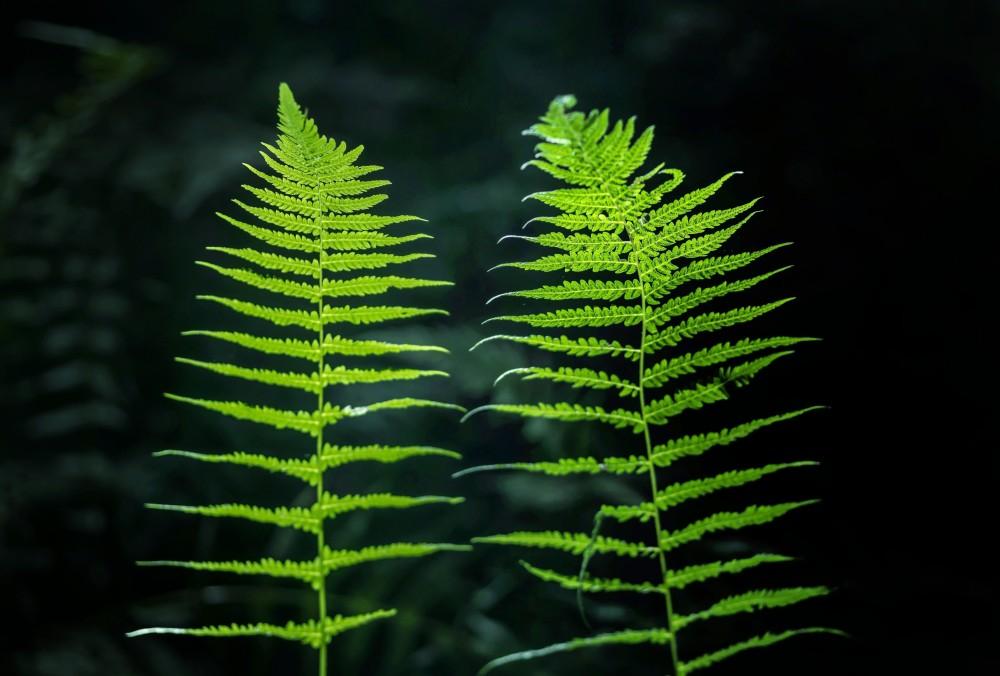 Ferns 3 1000